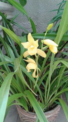 Golden flowering