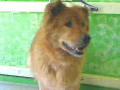 A4454729 CARSON SHELTER is an adoptable Chow Chow Dog in Gardena, CA. Woof! THIS DOG IS CURRENTLY AT THE CARS0N ANIMAL SHELTER. To obtain further information on this pet, call the shelter directly at ...