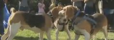 Beagles rescued from an animal testing facility reunite to celebrate their new lives