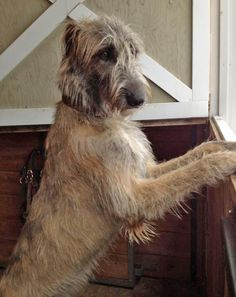 Arwyn the Irish Wolfhound really realllly has the look