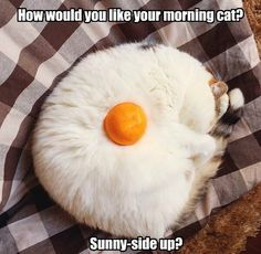 How would you like your morning cat? - LOLcats is the best place to find and submit funny cat memes and other silly cat materials to share with the world. We find the funny cats that make you LOL so that you don't have to. Funny Animal Jokes, Funny Cat Memes, Cute Funny Animals, Cute Cats, Funny Cats, Pet Memes, Funny Cat Photos, Funny Animal Pictures, Cat Egg