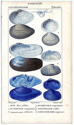 Natural History - Antique Seashell Graphics - The Graphics Fairy