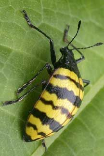 Pleasing Fungus Beetle from Panama - What's That Bug?