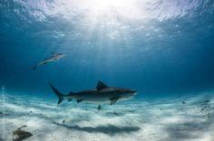 A tiger shark swims below beautiful sun rays.