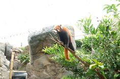 Red Panda at Hong Kong Oceanpark! Ocean Park, Red Panda, Hong Kong, Travel, Viajes, Red Pandas, Destinations, Traveling, Trips