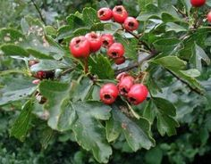 Hawthorn image. It is a good idea to read this before eating Hawthorn berries. It was a period food source.