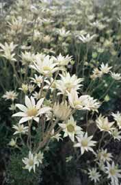Looks like daisy but isn't a daisy. My favourite Australian native flower - Flannel Flower Australian Native Garden, Australian Native Flowers, Australian Plants, Australian Wildflowers, Bush Garden, Moon Garden, Flannel Flower, Gardens Of The World, Beautiful Flowers