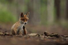 Photo Fox by Helena Kuchynková on 500px