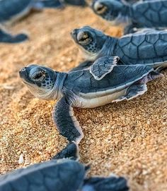 Best photos, images, and pictures gallery about baby sea turtle - sea turtle facts. Baby Sea Turtles, Cute Turtles, Turtle Baby, Ocean Turtle, Cute Baby Animals, Funny Animals, Sea Turtle Facts, Turtle Love, Wale