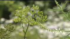 Wild parsnip looks very similar to a dill plant or Queen Anne`s lace but can cause a painful rash that eats away at your skin.