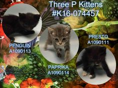 THREE P KITTENS - #K16-074457 - - Brooklyn  *** TO BE DESTROYED 10/06/16 *** FELV IS NOT A DEATH SENTENCE….Especially for little kittens who need to be re-tested!! PRESTO, PENGUIN & PAPRIKA are 7 weeks old, vocal, active and eating on their own…They just need a FOSTER who can keep them separate until they can be re-tested!! If you have no other cats or you have dog,s those are also possible foster situations. PLEASE CONTACT A NEW HOPE RESCUE TONIGHT TO SAVE