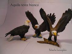 Aquila testa bianca