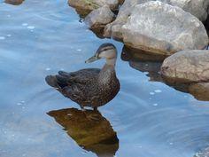 http://faaxaal.forumgratuit.ca/t1856-photos-d-oiseaux-canard-noir-anas-rubripes-american-black-duck#6614