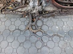 Adaptive Roots in the Concrete Jungle -- In this fantastic sighting by photographer Horst Kiechle, we see the roots of a tree in Bangkok, Thailand (Lat Yao, Chatuchak to be exact) growing into the grooves and cracks of an interlocking sidewalk. Concrete Jungle, Wow Photo, Dame Nature, 10 Tree, Photo Images, Tree Roots, Tree Photography, Bangkok Thailand, Amazing Nature