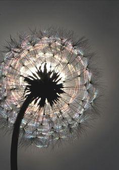 Sunshine thru the dandelion