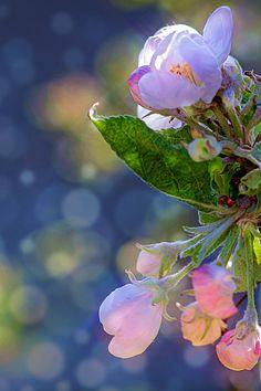 #apple tree flowers pink #photography #spring blossom #flower poster #wallpaper #grow #pretty #garden #print #photo about life #omenapuunkukkia #kevät #herkkä #valokuvaus #luonto #printti #juliste #taulu