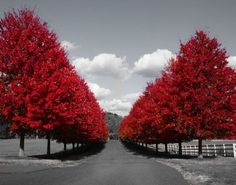 Black White Red Tree-Line Road Photography Wall Art | Black & White ...