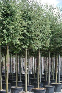 Goedkoper en winterhard Alternatief voor een olijfboom. Steen eik Quercus ilex boom - Groenblijvende Bomen - Bomen
