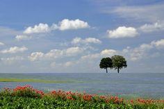 Twin trees in blue ocean of flowers, Belgian countryside in the province of Liège. Poppies. Photo by Pierre Hanquin