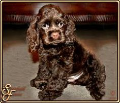 Image result for chocolate american cocker spaniel puppies