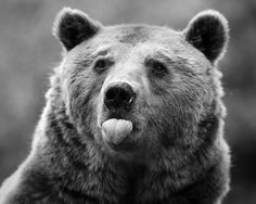 brown bear sticking out his tongue Beautiful Creatures, Animals Beautiful, Funny Animals, Cute Animals, Happy Animals, Wild Animals, Love Bear, Big Bear, Mundo Animal