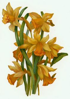 daffodils graphic
