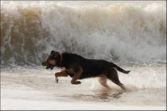 New Zealand Huntaway | New Zealand Huntaway enjoying the waves - Canon Digital Photography ...