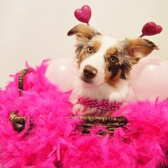 """Contest Time  Our buddy Oli has reached 20k followers! To celebrate we are hosting a Valentines's Day themed contest; Pretty in Pink & Red! . Hosts: @oli_the_aussie_ @pdx.oregondogs @oakley_aussie @miniaussie.milo @goldens.unleashed @muffinthecavoodlegirl @littlecooperbear @tilliegrace  @arya_the_aussie @herotheaussie @aussie.atlas @bolt_the_aussie . Rules: . 1. MUST follow all hosts & vendors (Vendors listed below). 2. Post a new photo with the colors red or pink included with """"This is my…"""
