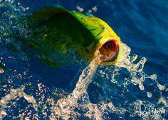 Mahi Mahi, Dorado, Dolphin. -David Cartee
