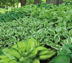 use several varieties of hosta for a ground cover in a shady spot...