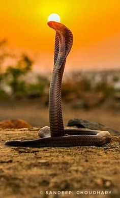 King Cobra under the sun Les Reptiles, Cute Reptiles, Reptiles And Amphibians, Animals Of The World, Animals And Pets, Beautiful Creatures, Animals Beautiful, King Cobra Snake, Poisonous Snakes