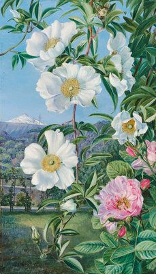 527. Cherokee Rose with the Peak of Teneriffe in the distance by  Marianne North