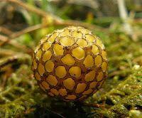 Portocala fagului (Cyttaria gunnii) http://ciupercomania.blogspot.com/2013/12/portocala-fagului-cyttaria-gunnii.html portocale din Australia.