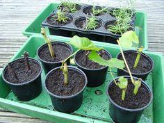 Stekken is een prachtige manier om je snoeiafval een tweede leven te geven. November, Plants, Gardening, Blog, November Born, Lawn And Garden, Blogging, Plant, Planets