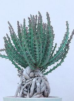 Details about Euphorbia knutii, exotic african bonsai caudex africa succulent seed 5 seeds - Unusual Plants, Rare Plants, Exotic Plants, Cool Plants, Growing Succulents, Cacti And Succulents, Planting Succulents, Planting Flowers, Planting Seeds