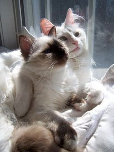 Great value cat insurance from Pets Insure Together, insuring cats at its best. Pretty Cats, Beautiful Cats, Animals Beautiful, Cute Animals, Beautiful Babies, Pretty Kitty, I Love Cats, Crazy Cats, Cute Cats