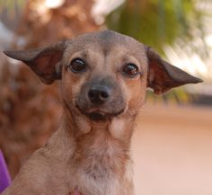 Stephanie is a dainty and delightful young girl who wants someone to love.  She is a Chi-Weenie (Chihuahua & Dachshund mix), 1 year of age, spayed and ready for adoption at Nevada SPCA (www.nevadaspca.org).  Stephanie enjoys cuddling and she is great with other dogs and mostly housetrained.  She needed us because a member of her previous family thought she was allergic to Stephanie.  Please visit and ask for her by name.