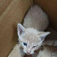 kitten #cats ID 13172985- #A774471 Austin, TX - Domestic