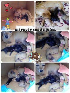 *_* Mi reina Yuyi ya alumbró, ayer 7 de abril del 2016, a sus 5 hermosos perritos. *_*