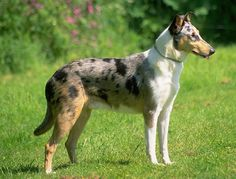 The Smooth Collie was bred in 19th-century Britain for herding sheep & maintains a desire to herd those deemed lower in the pack unless trained otherwise.  It is good with children & trains easily but requires regular grooming & lots of exercise.  The Smooth Collie handles cold well, but not heat.