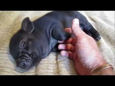micro piglet on bed CUTENESS! :)