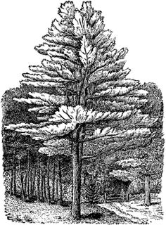 Tree Drawings and How To Draw Them