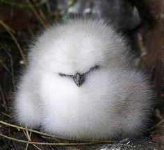 Yavru Albatros kuşu