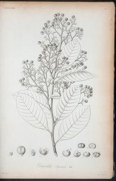 Davilla sagroeana. - NYPL Digital Collections