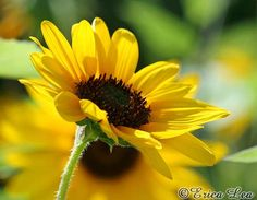 Sunflower Photography Yellow Flower Photo 8x10 by NatureVisionsToo, $20.00