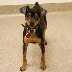 Star is an adoptable Miniature Pinscher Dog in Arlington Heights, IL.  ... Looks like our Rinky Dink! Made me cry when I saw this picture!
