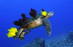 """""""This green turtle is getting a full-body cleaning and massage courtesy of local fish at Turtle Pinnacle near Kailua Kona, Hawaii."""""""