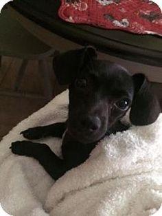 Santa Fe, TX - Dachshund/Chihuahua Mix. Meet Tinka a Puppy for Adoption.