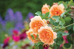 David Austin Roses Dame Judi Dench