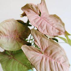 syngonium podophyllum 'pink neon' // pink arrowhead vine plant.